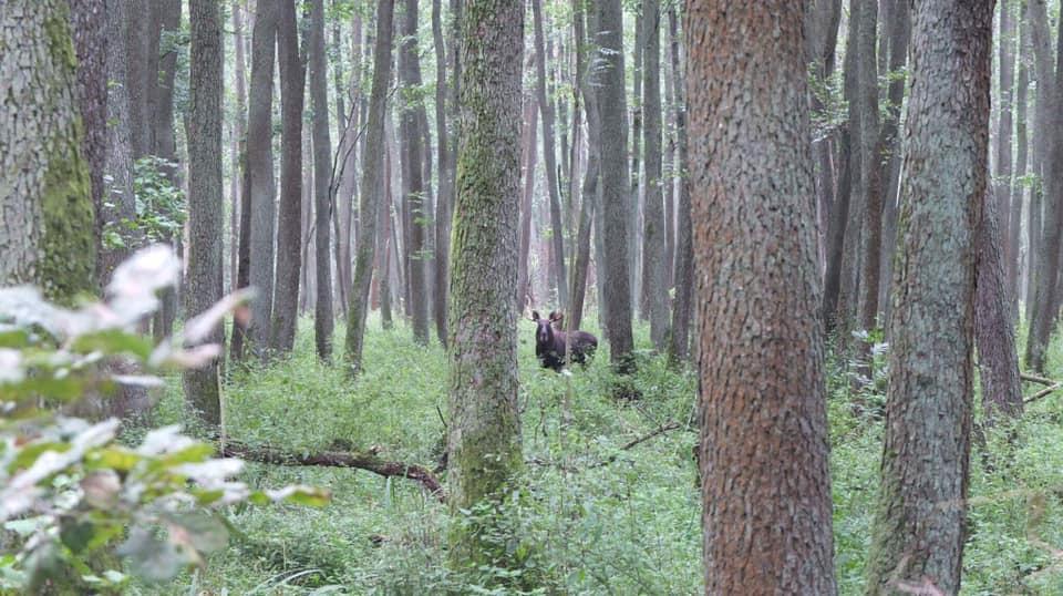 Zdjęcie łosia w lesie